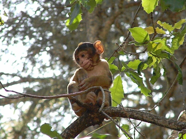 The Barbary Apes of Morocco